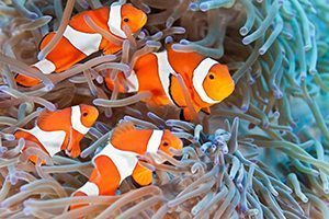 Clownfish - Great 8 - Southern Great Barrier Reef - Lady Musgrave Island Cruises