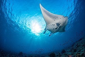 Rays - Great 8 - Southern Great Barrier Reef - Lady Musgrave Island Cruises