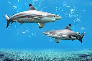Reef Sharks - Great 8 - Southern Great Barrier Reef - Lady Musgrave Island Cruises