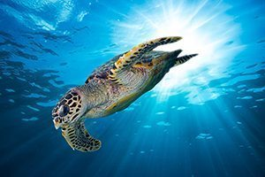 Turtles - Great 8 - Southern Great Barrier Reef - Lady Musgrave Island Cruises