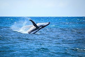 Whales - Great 8 - Southern Great Barrier Reef - Lady Musgrave Island Cruises